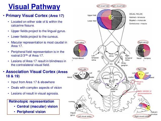 visual pathway - Akba.greenw.co
