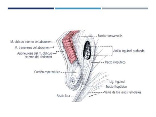 Anatomia y fisiologia de la region inguinal