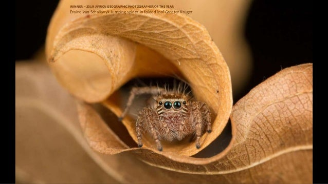Eraine van Schalkwyk-Jumping spider in folded leaf Greater Kruger WINNER – 2019 AFRICA GEOGRAPHIC PHOTOGRAPHER OF THE YEAR