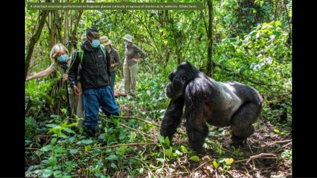 A silverback mountain gorilla known as Rugendo glances curiously at a group of tourists as he walks by. ©Dale Davis