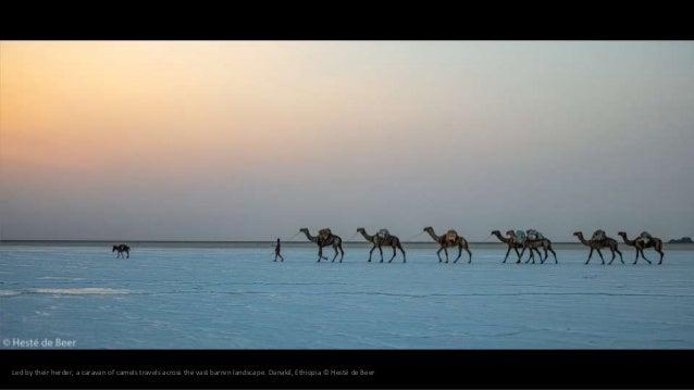 Led by their herder, a caravan of camels travels across the vast barren landscape. Danakil, Ethiopia © Hesté de Beer