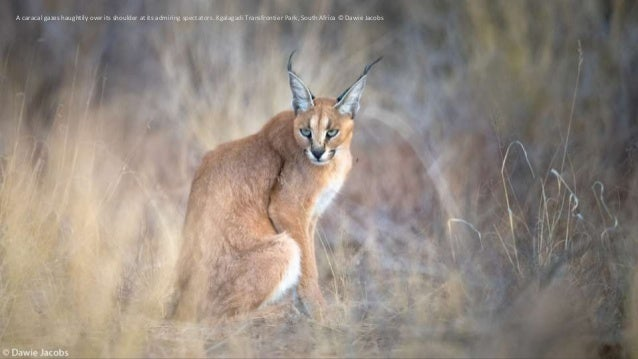 A caracal gazes haughtily over its shoulder at its admiring spectators. Kgalagadi Transfrontier Park, South Africa © Dawie...