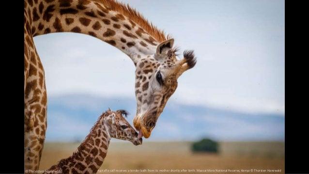 A giraffe calf receives a tender bath from its mother shortly after birth. Maasai Mara National Reserve, Kenya © Thorsten ...