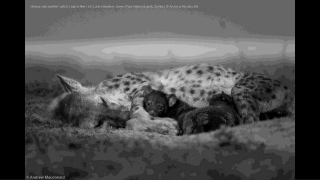 Hyena cubs nestled safely against their exhausted mother. Liuwa Plain National park, Zambia © Andrew Macdonald