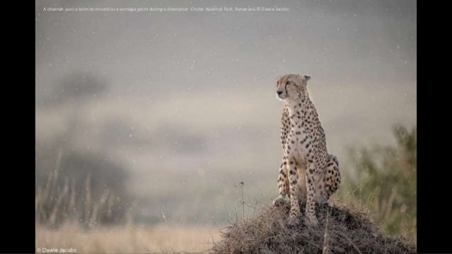 A cheetah uses a termite mound as a vantage point during a downpour. Chobe National Park, Botswana © Dawie Jacobs