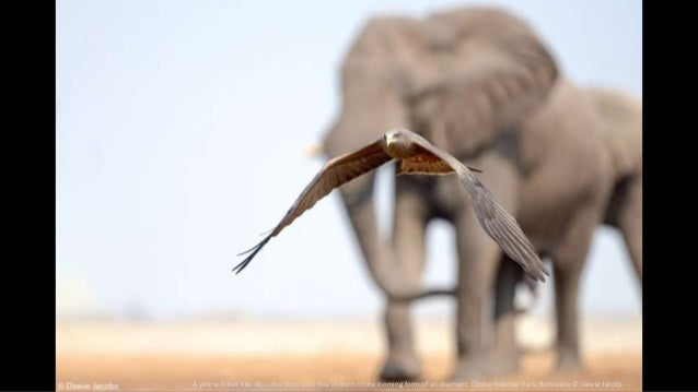 A yellow-billed kite dips into focus as it flies in front of the looming form of an elephant. Chobe National Park, Botswan...