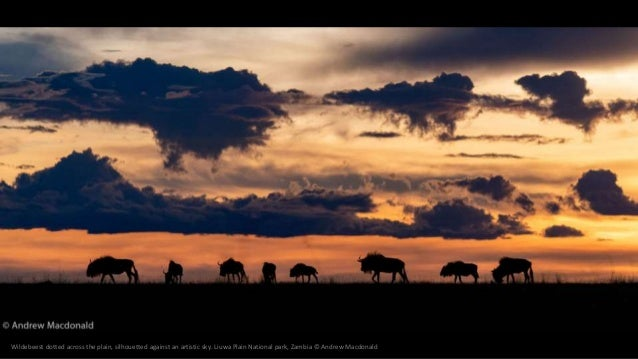 Wildebeest dotted across the plain, silhouetted against an artistic sky. Liuwa Plain National park, Zambia © Andrew Macdon...