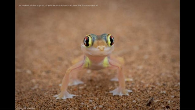 An inquisitive Palmato gecko – Namib Naukluft National Park, Namibia. © Werner Hoetzel