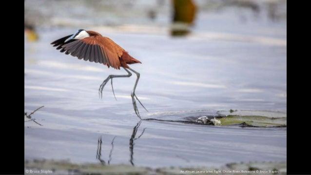 An African jacana takes flight. Chobe River, Botswana © Bruce Staples
