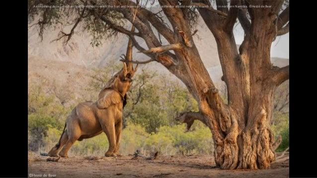 An imposing desert elephant bull stretches to reach the fruit and leaves of an Ana-tree (Faidherbia albida) near the Hoani...