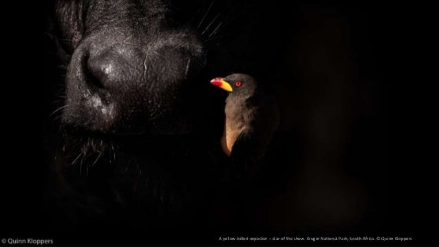 A yellow-billed oxpecker – star of the show. Kruger National Park, South Africa. © Quinn Kloppers