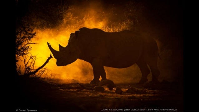 A white rhino cow in the golden South African dust. South Africa. © Darren Donovan