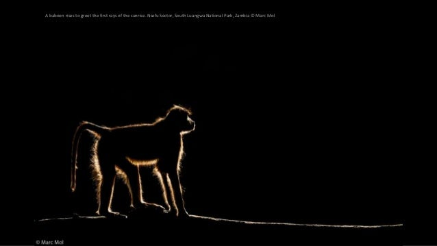 A baboon rises to greet the first rays of the sunrise. Nsefu Sector, South Luangwa National Park, Zambia © Marc Mol