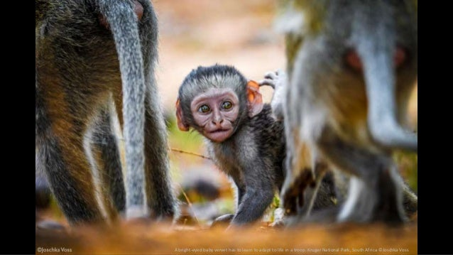 A bright-eyed baby vervet has to learn to adapt to life in a troop. Kruger National Park, South Africa ©Joschka Voss