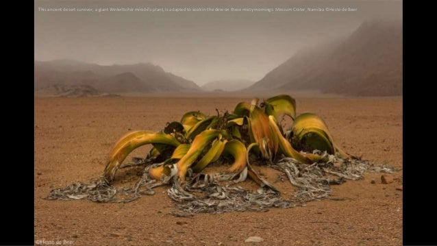 This ancient desert survivor, a giant Welwitschia mirabilis plant, is adapted to soak in the dew on these misty mornings. ...