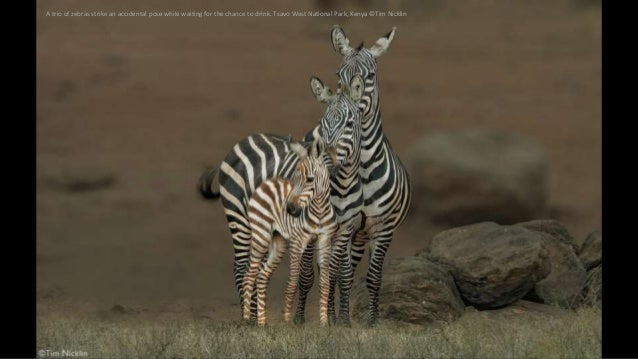 A trio of zebras strike an accidental pose while waiting for the chance to drink. Tsavo West National Park, Kenya ©Tim Nic...