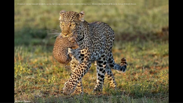A vigilant female leopard tenderly carries her young cub to the next suitable hiding place. Maasai Mara National Reserve, ...
