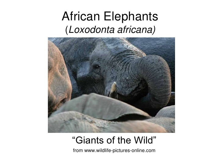 "African Elephants (Loxodonta africana)      ""Giants of the Wild""  from www.wildlife-pictures-online.com"