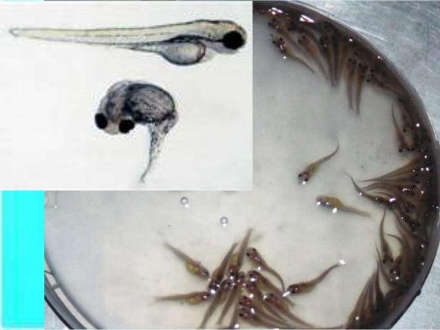 African Catfish | Hatchery Technology Of African Catfish