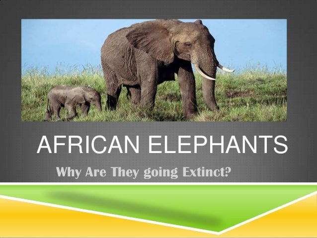 AFRICAN ELEPHANTSWhy Are They going Extinct?