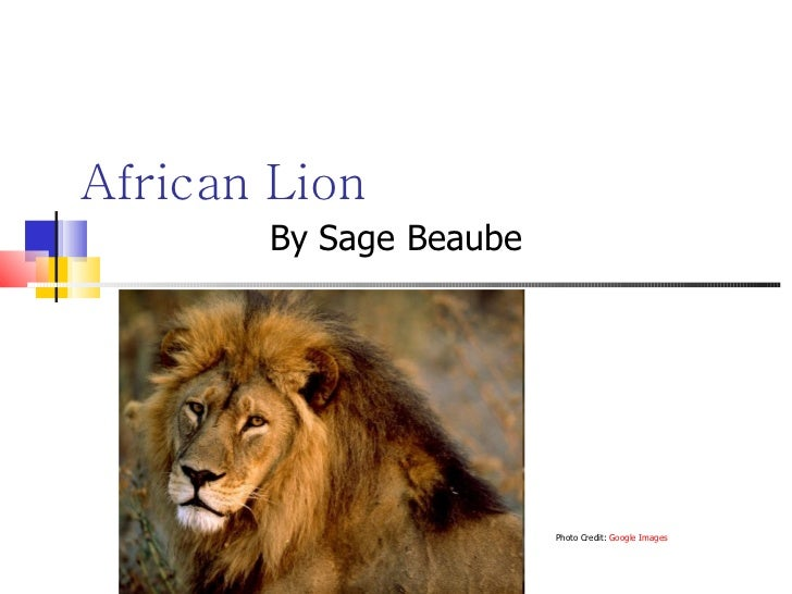 African Lion By Sage Beaube Photo Credit:  Google Images
