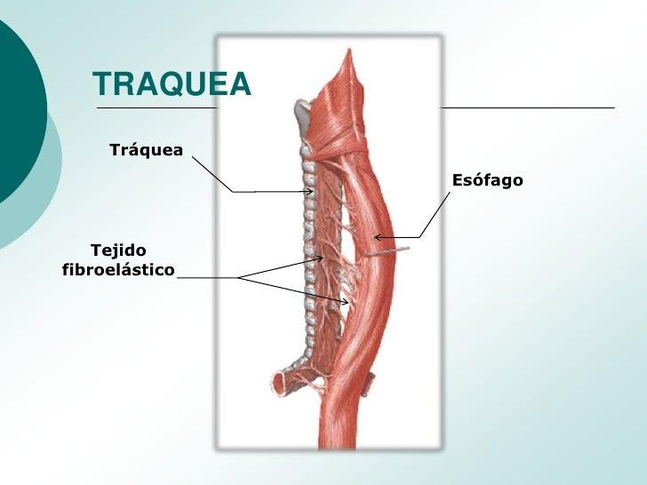 Anatomia y Fisiologia de Traquea y Arbol Bronquial