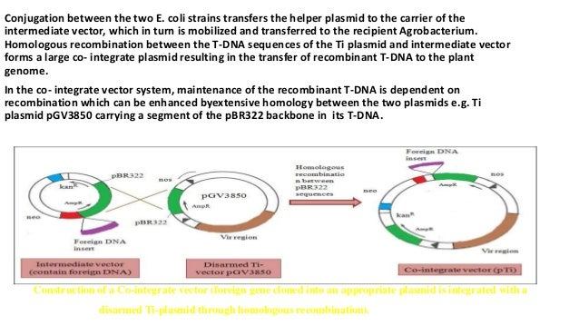 Conjugation between the two E. coli strains transfers the helper plasmid to the carrier of the intermediate vector, which ...