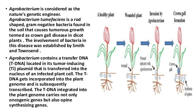 • Agrobacterium is considered as the nature's genetic engineer. Agrobacterium tumefaciens is a rod shaped, gram negative b...