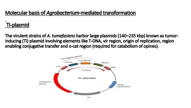 Molecular basis of Agrobacterium-mediated transformation Ti-plasmid The virulent strains of A. tumefaciens harbor large pl...