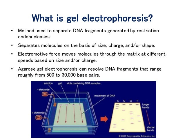 how to use gel electrophoresis in a sentence