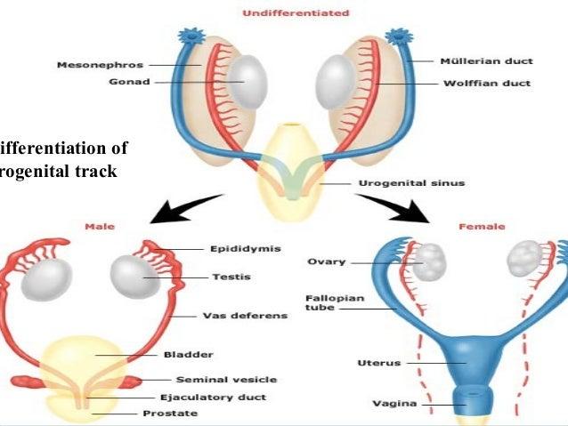Sex differentiation