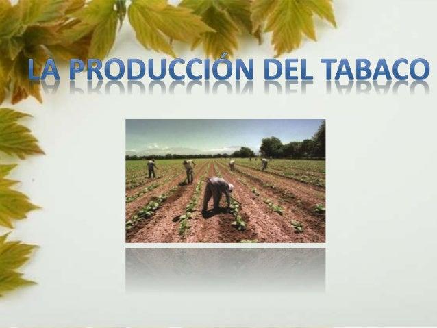 Los expertos en vegetales han determinado que el  centro del origen del tabaco se sitúa en la  zona andina entre Perú  y E...