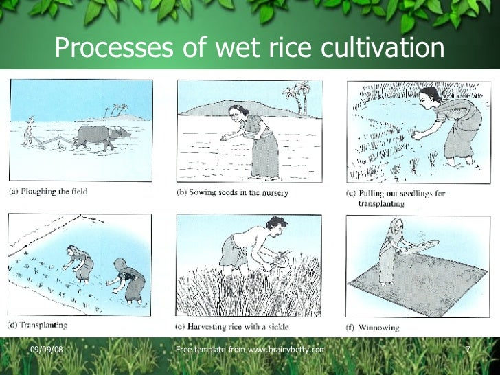 how to grow rice step by step