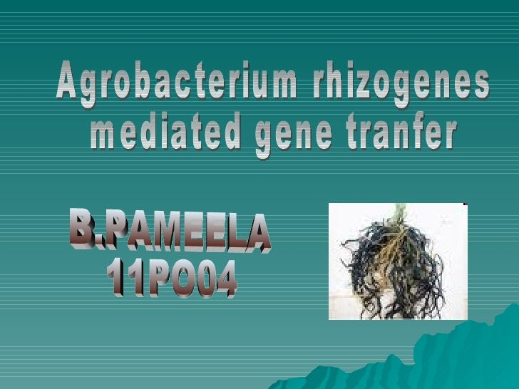 agrobacterium rhizogenes The closely related species, agrobacterium rhizogenes, induces root tumors, and carries the distinct ri (root-inducing) plasmid although the taxonomy of agrobacterium is currently under revision it can be generalised that 3 biovars exist within the genus, agrobacterium tumefaciens , agrobacterium rhizogenes , and agrobacterium vitis .