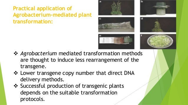 agrobacterium genetic modification of plants Gene identified by purdue scientists may ease the genetic modification of plants agrobacterium-mediated plant transformation is widely used in the.