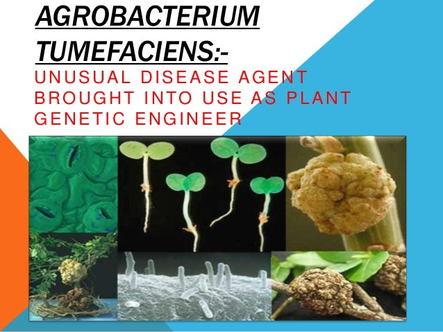 AGROBACTERIUM TUMEFACIENS:UNUSUAL DISEASE AGENT BROUGHT INTO USE AS PLANT GENETIC ENGINEER