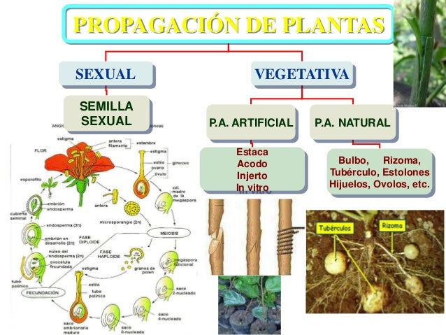 Semilla vegetativa o asexual reproduction