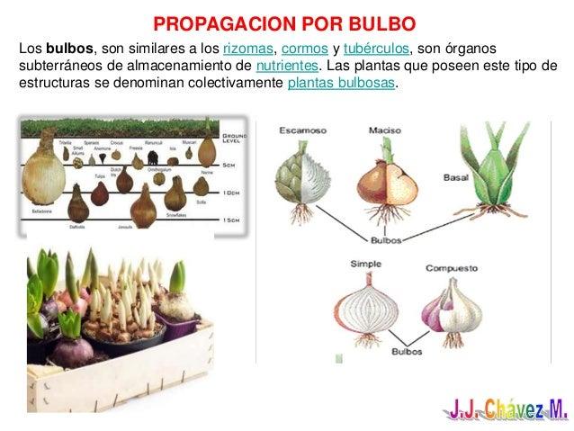 Reproduccion asexual en plantas por bulbos