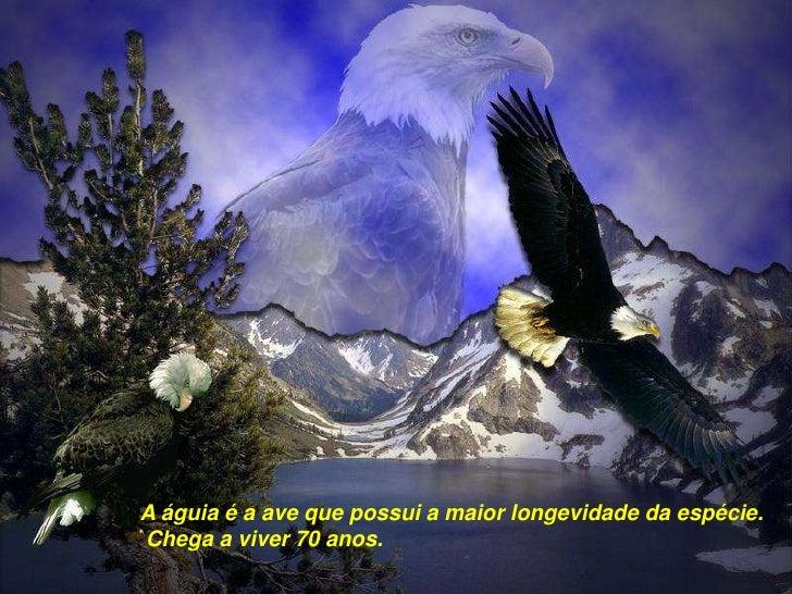 A águia é a ave que possui a maior longevidade da espécie.<br /> Chega a viver 70 anos.<br />