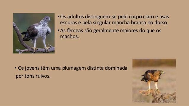 Águia perdigueira - Gustavo Alexandre - 4BSM Slide 3