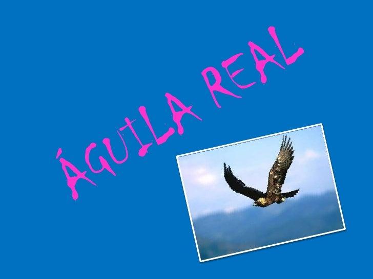 TaxonomíaEl águila real (Aquila chrysaetos)   pertenece al género Aquila y la         familia Accipitridae.   se le llama ...