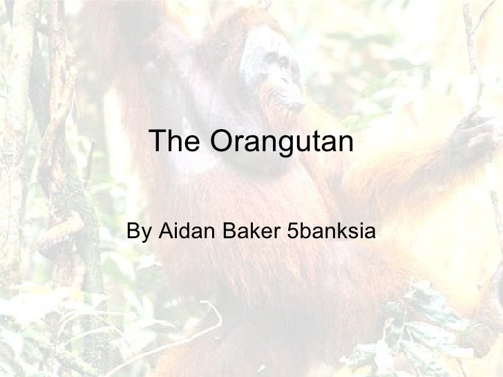 The Orangutan By Aidan Baker 5banksia