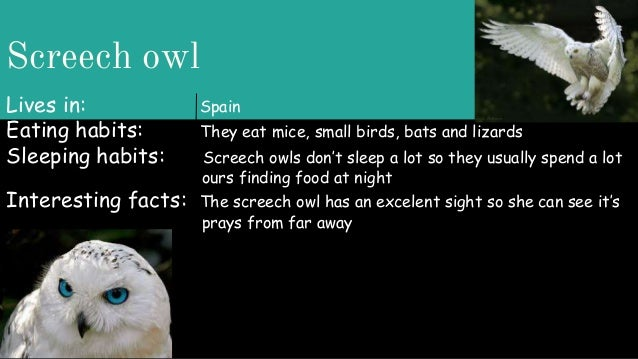 Screech owl Lives in: Spain Eating habits: They eat mice, small birds, bats and lizards Sleeping habits: Screech owls don'...