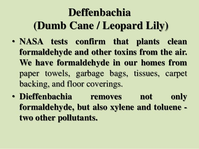Deffenbachia (Dumb Cane / Leopard Lily) • NASA tests confirm that plants clean formaldehyde and other toxins from the air....