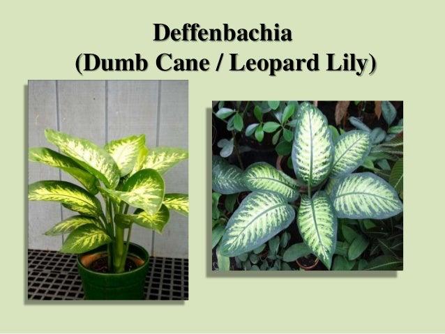 Deffenbachia (Dumb Cane / Leopard Lily)