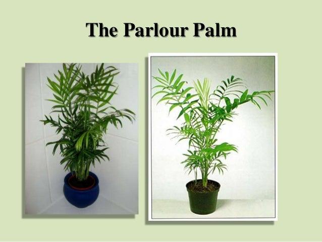 The Parlour Palm