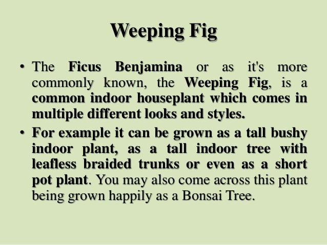 Weeping Fig • The Ficus Benjamina or as it's more commonly known, the Weeping Fig, is a common indoor houseplant which com...