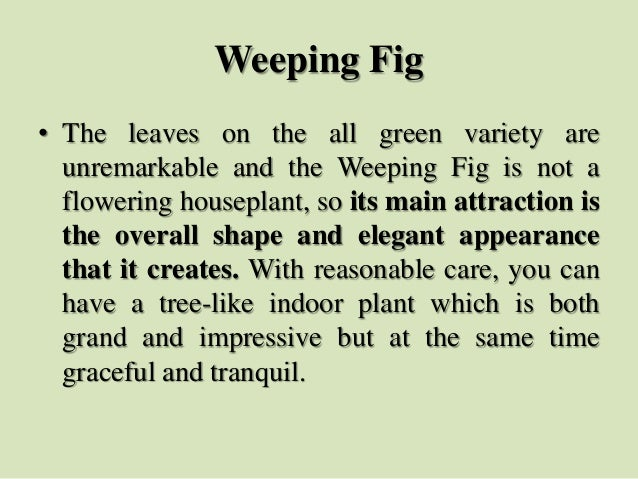 Weeping Fig • The leaves on the all green variety are unremarkable and the Weeping Fig is not a flowering houseplant, so i...