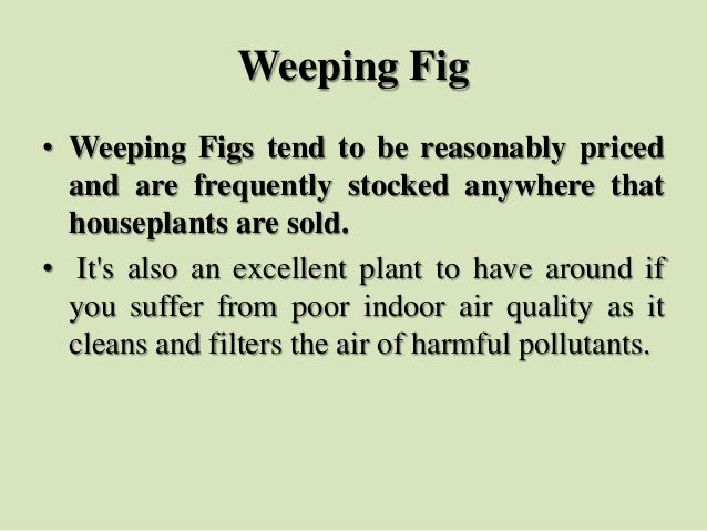 Weeping Fig • Weeping Figs tend to be reasonably priced and are frequently stocked anywhere that houseplants are sold. • I...