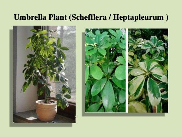 Umbrella Plant (Schefflera / Heptapleurum )
